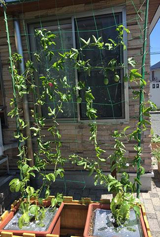パッションフルーツのグリーンカーテン